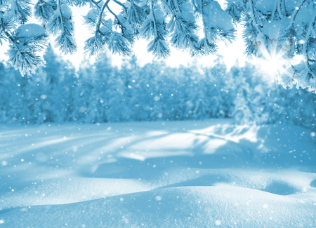 snowdrifts: Winter bright background. Christmas landscape with snowdrifts and pine branches in the frost.