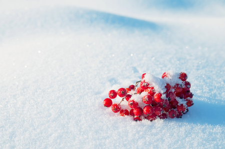 Winter background with bunch of red rowan in the snow Stock Photo