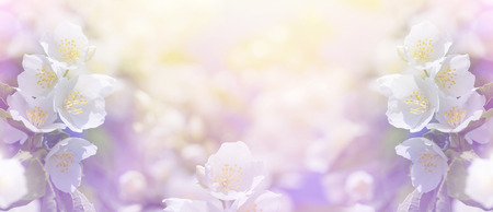 Spring gentle background with bright blooming jasmine 免版税图像