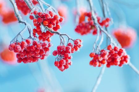 Bright red bunches of rowan in hoarfrost. Frozen rowan berries.