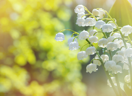 Spring background with lilies of the valley in drops of water after rain