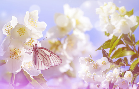 pieris: Spring landscape. Natural background with butterfly on the branch of blooming jasmine.