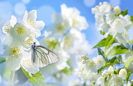 Spring landscape. Natural background with butterfly on the branch of blooming jasmine.