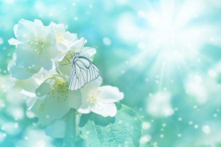 Gentle spring background with  butterfly on  flowering jasmine.