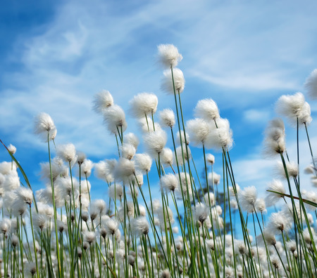 Flowering plant cotton grass on  background of blue sky