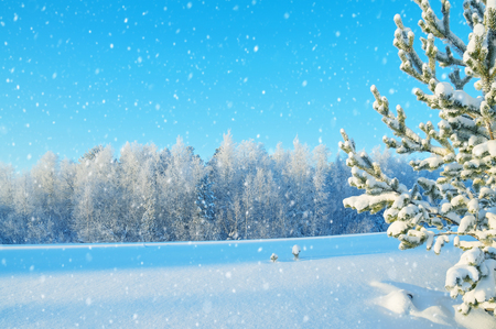 Winter landscape. The picturesque landscape with snow-covered pine trees in the sunlight.