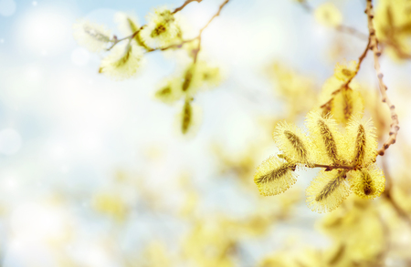 catkins: Spring bright background with pussy-willow branch with catkins
