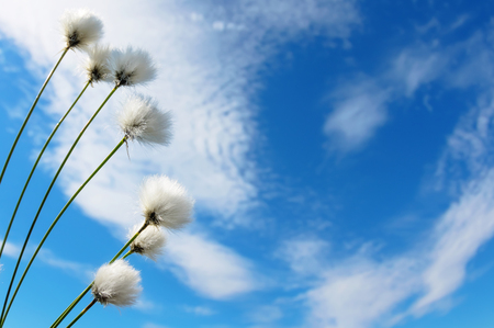 Natural background with the plant cotton grass against the sky with clouds