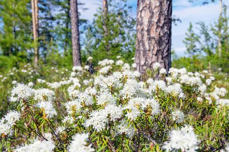 palustre: Spring landscape. Blooming Labrador tea in the spring coniferous forest.