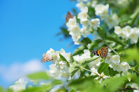 tree jasmine: Spring background with flowering jasmine and  butterflies on flowers