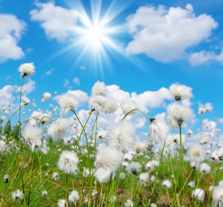 turba: Summer bright landscape with blooming cotton grass