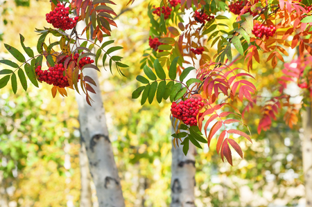 Autumn bright landscape with branches of red rowan Stock Photo