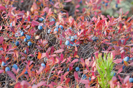 Mature blueberries with red leaves in autumn forest