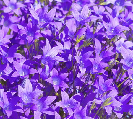 Natural floral background of beautiful wildflowers bells Stock Photo