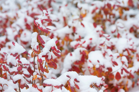 Red leaves of blueberry covered with snow Stock Photo