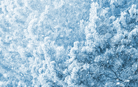 Winter background with snow-covered pine branches and cones Stock Photo