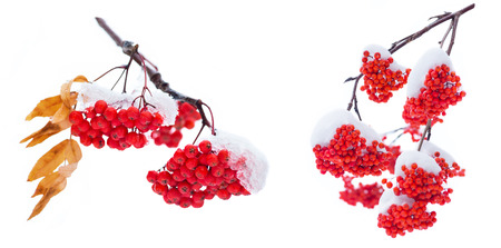 Branch bright rowan in the snow. Isolated on white background. Standard-Bild