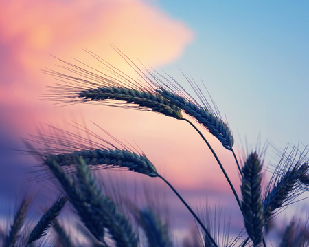 Wheat ears against the background of the dramatic red sky Stock Photo