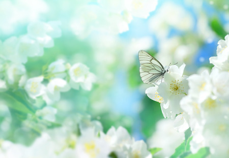 Natural background with butterfly on the branch of blooming jasmine. Spring scene. Stock Photo - 96306108