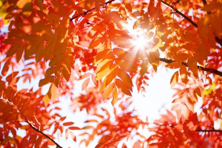 Fondo otoñal brillante con hojas rojas de fresno de montaña en el sol