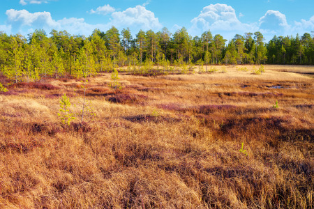 Autumn bright landscape with dry grass in the Siberian tundra.