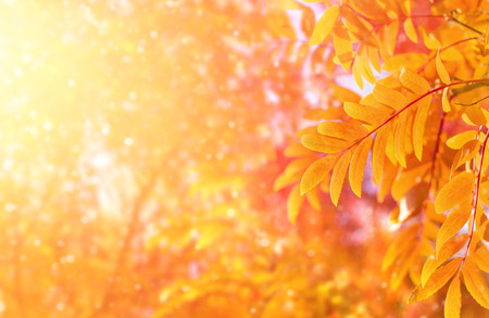 Autumn bright blurred background with yellow leaves of mountain ash