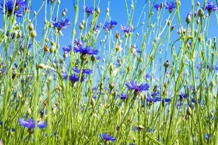 Beautiful wildflowers. Summer landscape with bright blooming cornflowers in the field Banco de Imagens