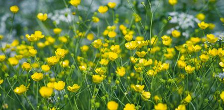 Summer landscape with meadow flowers buttercups. Closeup of buttercups. Summer floral background. Stock Photo