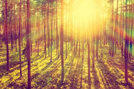 Coniferous forest in the rays of the setting sun. Summer evening in the coniferous forest.