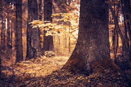Autumn landscape. Autumn in the old magic forest. Mystical forest in the sunlight. Standard-Bild