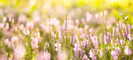 Natural bright background. Forest flowers heather in the rays of the setting sun.
