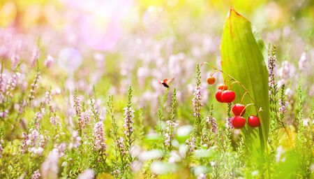 Autumn natural background. Red berries of a lily of the valley flower among blooming heather Standard-Bild