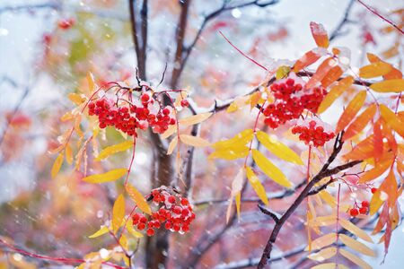 Bunches of red rowan covered by the first snow. Red rowan berries with yellow leaves in the snow.
