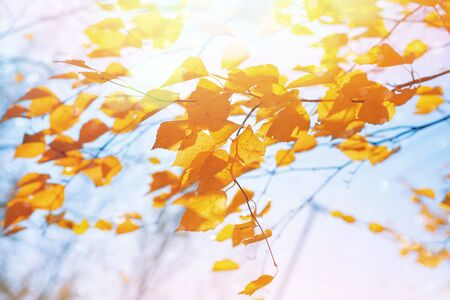 Branches of  birch with yellow leaves in autumn park. Branches of a birch tree with yellow leaves in the wind. Standard-Bild