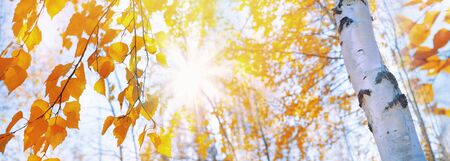 Branches of  birch with yellow leaves in autumn park. Hanging yellow birch leaves in the sun