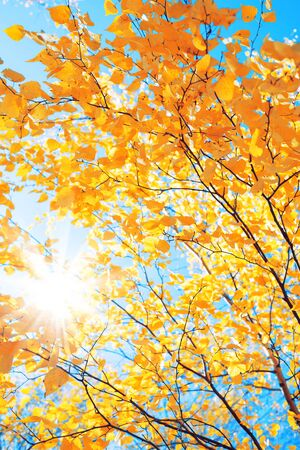 Branches of  birch with yellow leaves in autumn park. Autumn background with yellow foliage of birch tree. Standard-Bild