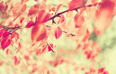 Autumn background. Pear tree branch with bright red leaves. Standard-Bild
