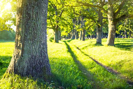 Summer landscape. Alley of old oak trees on bright sunny day.