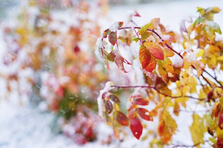 Autumn background. Shrub with red and yellow leaves covered by snow. Standard-Bild
