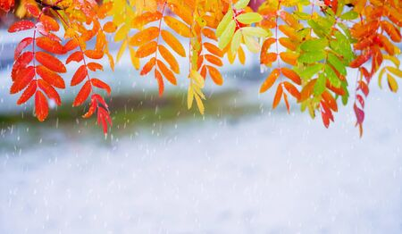 Autumn background. Rowan tree branch with colored leaves in the first snow Standard-Bild