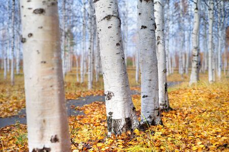 In the autumn park. Autumn landscape with white birch trunks in city park. Standard-Bild