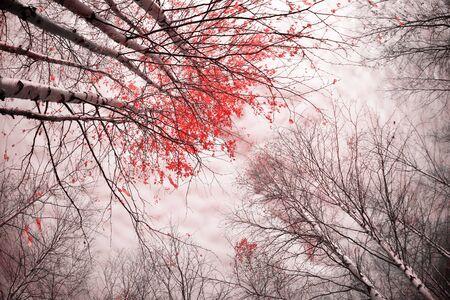 Autumn landscape. Birch grove with autumn leaves against the sky. Standard-Bild