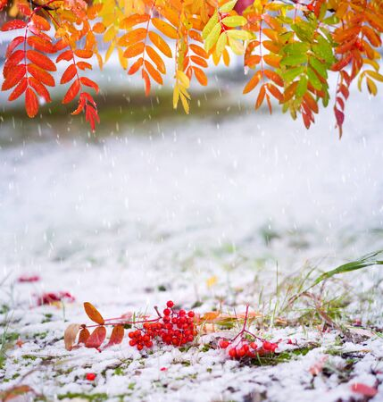 Autumn background. Autumn landscape with red mountain ash under the first snow.