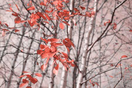 Autumn landscape. Birch branch with red autumn leaves. Standard-Bild