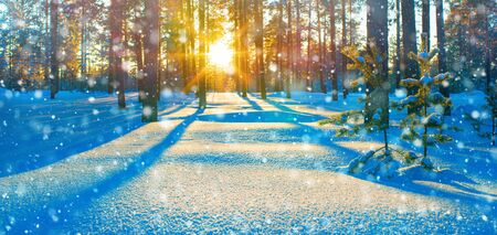 Winter landscape. Colorful sunset in the winter coniferous forest