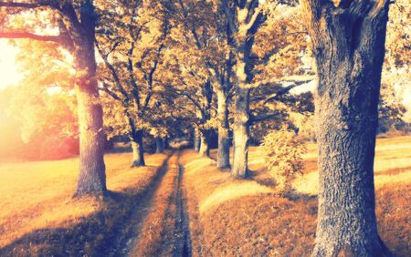 Autumn landscape. Road through the alley of old oaks at sunset Stock Photo