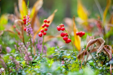 Red berries of a lily of the valley in the autumn forest. Berries of a lily of the valley close up. Standard-Bild