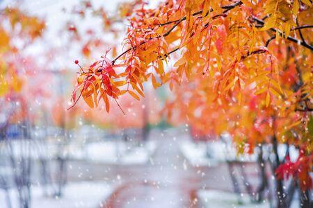 Otoño colorido paisaje. Ramas de árbol de serbal con hojas rojas en el parque cubierto de nieve.