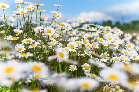 Summer bright landscape with beautiful wild flowers camomiles. Daisy wildflowers against the sky. Standard-Bild