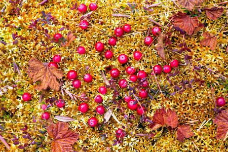Red ripe berries of a cranberry on moss in the autumn Siberian taiga.